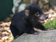 Baby Tassie Devil. Another reason to visit Tasmania.