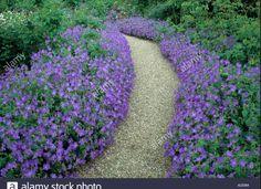 Geranium Johnson S Blue Edging Gravel Path Stock Photo, Royalty . Blue Geranium, Cranesbill Geranium, Front Yard Walkway, Gravel Path, Border Plants, Geraniums, Garden Paths, Purple Flowers, Home And Garden