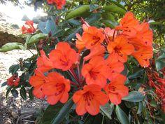 Rhododendron javanicum