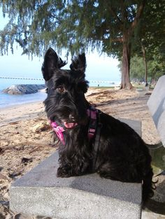 Abbey the Scottish Terrier Pictures 478258