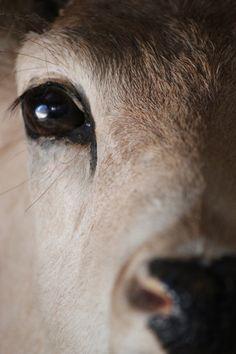 Calf's Beautiful Eyes