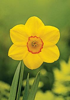 Perimeter | Small Cupped Daffodils Daffodils | Bloms Bulbs UK
