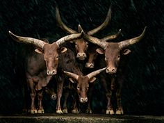 Ankole-Watusi, breed of cattle originally native to Africa. Their horns can reach up to 8 feet from tip to tip1