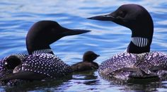 Loons and their baby