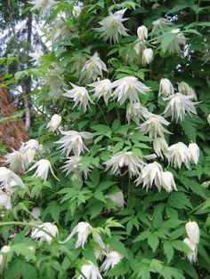 Klematis albina plena (Clematis 'Albina plena') - Anspråkslös, trivs även i skugga, men vill ha det väldränerat. - Klängväxt, blir 3-4m hög (behövs ej beskäras) - vita blommor - blommar juni-augusti.