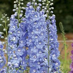 2017 Graines 100 2018-Pacific Giant Mix-VIVACE fleur Delphinium Seeds