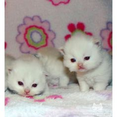 """From @katelynward_xo: """"Meet Howard & Stanley they are flamepoint himalayan kitties and are 19 days old."""" #catsofinstagram by cats_of_instagram"""