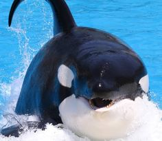 Ocean Creatures, Cute Creatures, Seaworld Orlando, Cute Whales, Killer Whales, Sea World, Family Life, Orcas, Nature