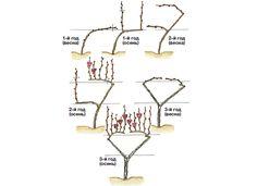 Веерная формировка винограда. Московский малый бесштамбовый веер по Д.Токареву