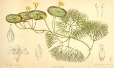 4541 Cabomba aquatica Aublet / Curtis's Botanical Magazine, vol. 115 [ser. 3, vol. 45]: t. 7090 (1889) [M. Smith]