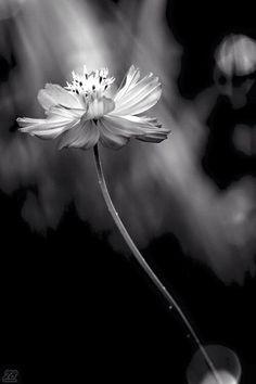 The beauty of a flower #bokeh