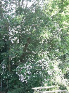 Pauls Himalayan Musk and Rambling Rector roses in ash tree Musk Rose, Woodland Plants, Ash Tree, Himalayan, Garden Design, Roses, Planting, Garden Ideas, Shells