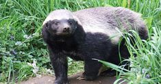 honey badger - Buy this stock photo and explore similar images at Adobe Stock Honey Badger, Black Bear, Otters, Predator, Animal Photography, Mammals, Animals And Pets, Animal Pictures, First Time