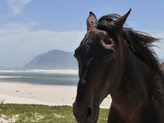 One of the wild horses at Flamingo Lake, Fisherhaven, Overberg, Western Cape, South Africa Wild Horses, Horse Riding, Cape Town, Pet Birds, Flamingo, South Africa, Southern, Adventure, Animals