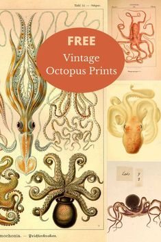 A wonderful collection of vintage octopus illustrations to download for free. Both beautiful colour and black and white octopus prints. All prints are in the Public Domain #octopus Octopus Drawing, Whale Drawing, Octopus Wall Art, Octopus Print, Octopus Species, Octopus Images, Octopus Illustration, Ernst Haeckel, Picture Boxes