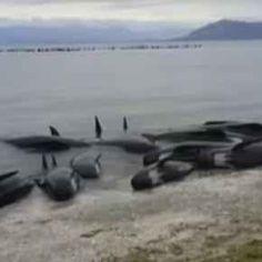 Suicidio di massa di oltre 400 balene in Nuova Zelanda: ecco il video impressionante Una scena del genere ci arriva dalla Nuova Zelanda, dove sono state ritrovate più di quattrocento #balene arenate sulla spiaggia di Farewell Spit. Situata nella parte meridionale del Paese oceanico.  #nuovazelanda #balene
