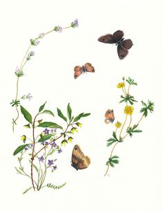 BC wildflowers and butterlies