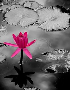 Black and white photography lotus flower with a touch of pink color splash Splash Photography, Floral Photography, Black And White Photography, Nature Photography, Photography Jobs, Photography Equipment, Photography Backdrops, Black And White Background, Black And White Pictures