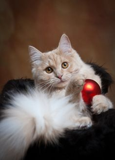 cat with Christmas ornament.  For more Christmas Cats, visit https://www.facebook.com/funholidaycats