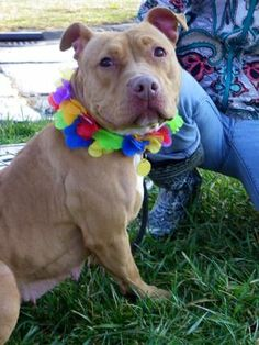 ADOPTED 2/4/16 Petango.com – Meet Cinnamon 96, a 4 years 3 months Terrier, American Pit Bull / Mix available for adoption in CLEVELAND, OH