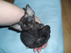 My dream cat! The Devon Rex.