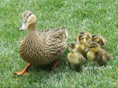 Photo By: Caren Grant  Mama Mallard Duck and babies, Orlando, FL