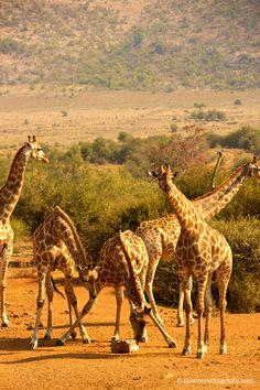 Giraffes in Pilanesberg National Park in South Africa …