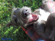 Irish Wolfhound - Will Scarlet dei Mangialupi – Smile #animals #dogs #irishwolfhound