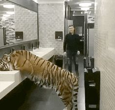 Surprise Tiger