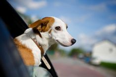 Click on the photo for an article about how to ease your pet's anxiety about traveling in a car - a common problem.