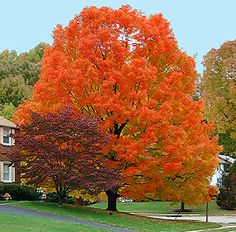 3 Trees for Fall Color: Autumn Blaze Maple is Not the Only Crayon in the Box #curbappeal #beauty