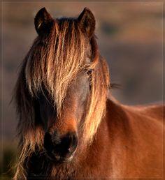 Dartmoor Pony. My 1st love as a child.