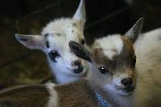 Two baby goats staring towards