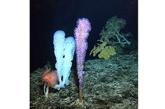 Deep sea coral and sponges sit on the summit of the Cook seamount, seen from the Pisces V submersible during a dive to the previously unexplored underwater volcano off the coast of Hawaii's Big Island on Sept 6. The Cook is a 13,000-foot extinct volcano at the bottom of the sea whose summit is 3,000 feet below the surface of the Pacific.
