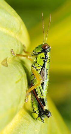 1000 images about grasshopper crickets on pinterest. Black Bedroom Furniture Sets. Home Design Ideas