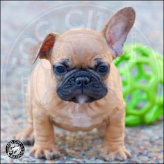 Epically CUTE French bulldog puppy for sale. Fawn with a black mask. Contact rachel AT fogcitybulldogs.com.