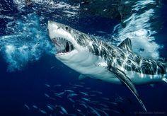 Gran tiburón blanco en Isla Guadalupe