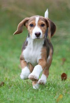 Deutsche Bracke, German Hound Dog Dandie Dinmont Terrier, Doberman Pinscher, Cute Puppies, Dogs And Puppies, Baby Animals, Cute Animals, Dog Lady, Animal Wallpaper, Hound Dog