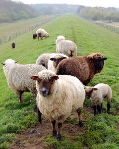 Sheep-Scenes from Insel Föhr in Germany. Alpacas, Beautiful Creatures, Animals Beautiful, Beautiful Beautiful, Farm Animals, Cute Animals, Wild Animals, Baa Baa Black Sheep, The Farm