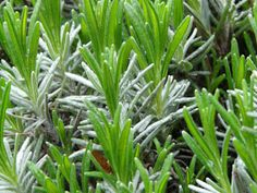 Cuttings of lavender Find all the information about Growing lavender. You can read Growing lavender Herb Garden, Vegetable Garden, Growing Lavender, Lavender Garden, Plant Health, Diy Halloween Costumes For Kids, Garden Living, Planting Seeds, Growing Plants