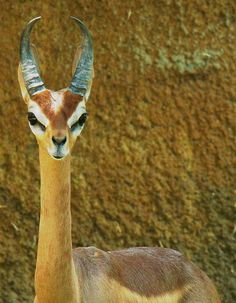 a gerenuk. now I know where the classic alien face shape came from.