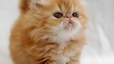 I need a fluffy orange kitten just like this!
