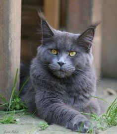 Blue Maine Coon.