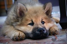 Dog - Eurasier - Isha on www.yummypets.com