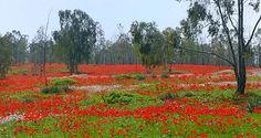 Red carpet of Anemone coronaria flowers in Shokeda Forest, Israel, 2012 Wikipedia, the free encyclopedia Eilat, Israel, Camille Pissarro Paintings, Red Anemone, Anemones, Lilies Of The Field, Bright Flowers, Holy Land, Aphrodite