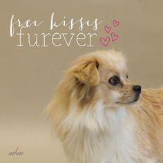 Sulley is an adoptable Pomeranian searching for a forever family near Naperville, IL. Use Petfinder to find adoptable pets in your area.