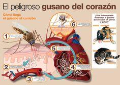 """La enfermedad del gusano del corazón es una enfermedad producida por una especie de nematodo parásito que se expande de huésped a huésped a través de las picaduras de mosquitos. El parásito afecta a animales (es mas común en animales), e incluso a los humanos. El gusano es llamado """"gusano del corazón"""" porque el parásito, en su último estado reproductivo del ciclo de vida, reside en el corazón de su huésped donde puede quedarse varios años, hasta que mata al huésped por un paro cardíaco."""