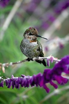 """hummingbird resting on salvia leucantha. Not my picture (but you can buy it from the photographer!) This seems to be their favorite salvia in my garden--they'll ignore the """"hummingbird sage"""" and just go for this one--and it blooms profusely almost year round."""