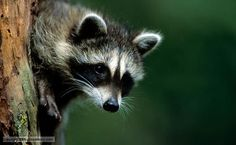 racoons | BBC Nature - Raccoon videos, news and facts