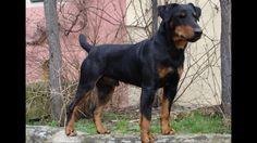 Jagdterrier, Deutscher, German Hunt Terrier,